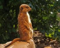 meerkat-1097581_640